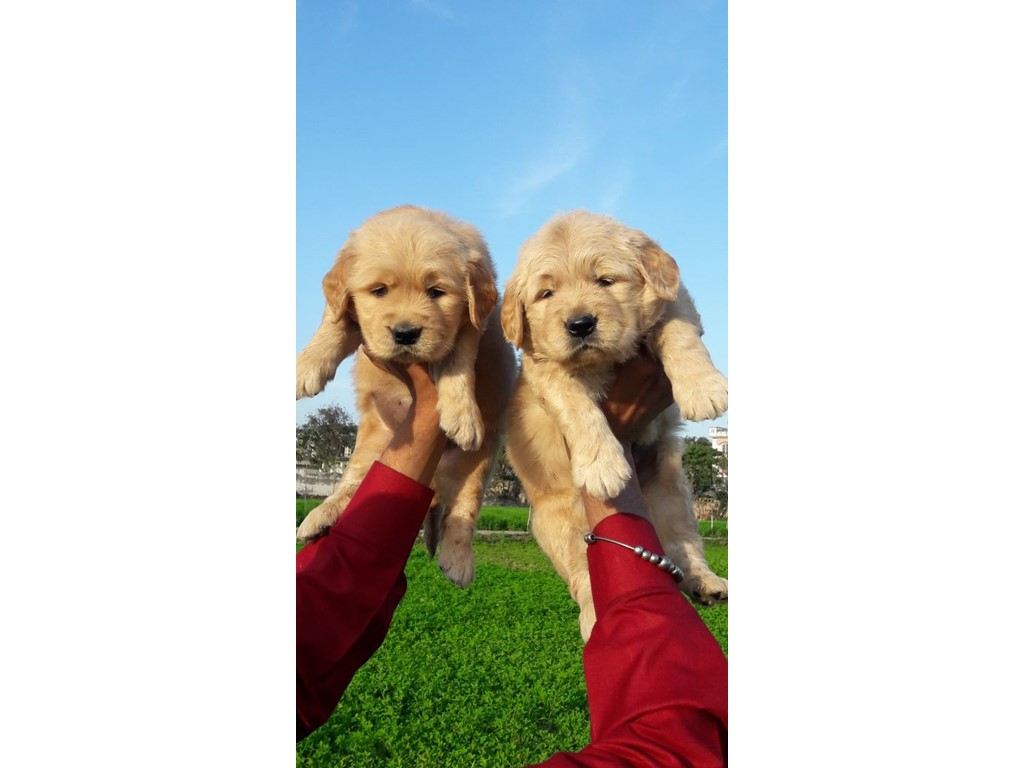 second hand/new: Golden retriever puppy For sale